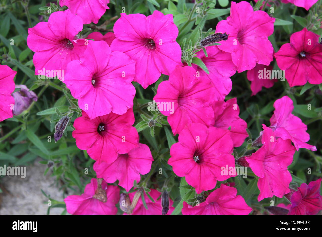 Pink tubular flowers stock photos pink tubular flowers stock flowerbed of pink petunia flowers at the rest area in new buffalo welcome center 707 in mightylinksfo
