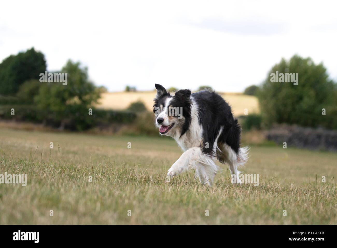 Border Collie dog Canis lupus familiaris in familiar stalking pose on dry grassy farmland - Stock Image