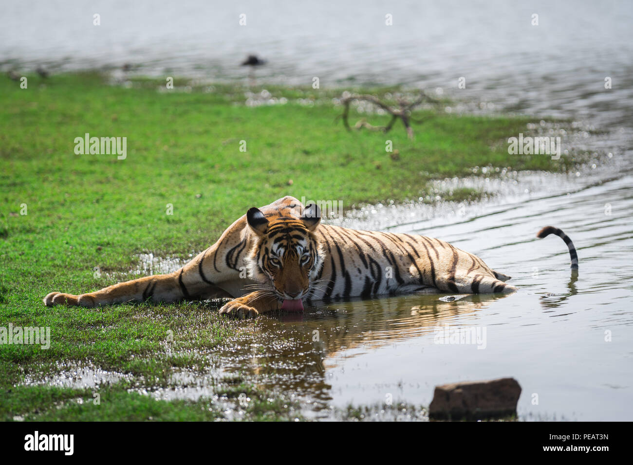 A tigress quenching her thirst in a lake at Ranthambore National Park - Stock Image