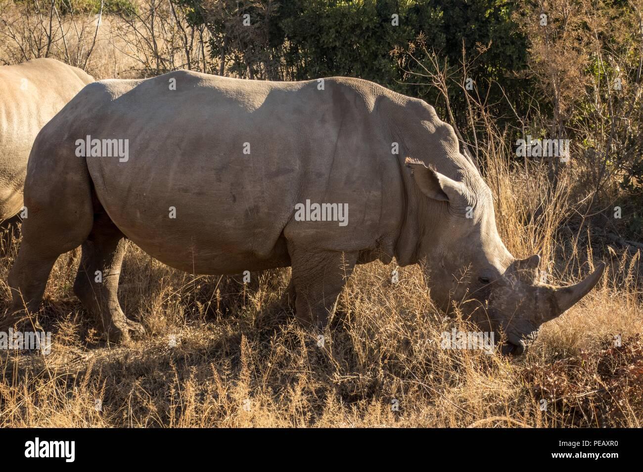 White rhino in Pilanesberg National Park, South Africa - Stock Image