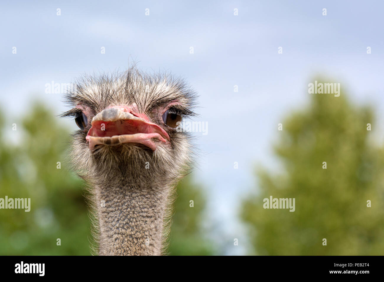 The head of an ostrich closeup on a blurred background. - Stock Image