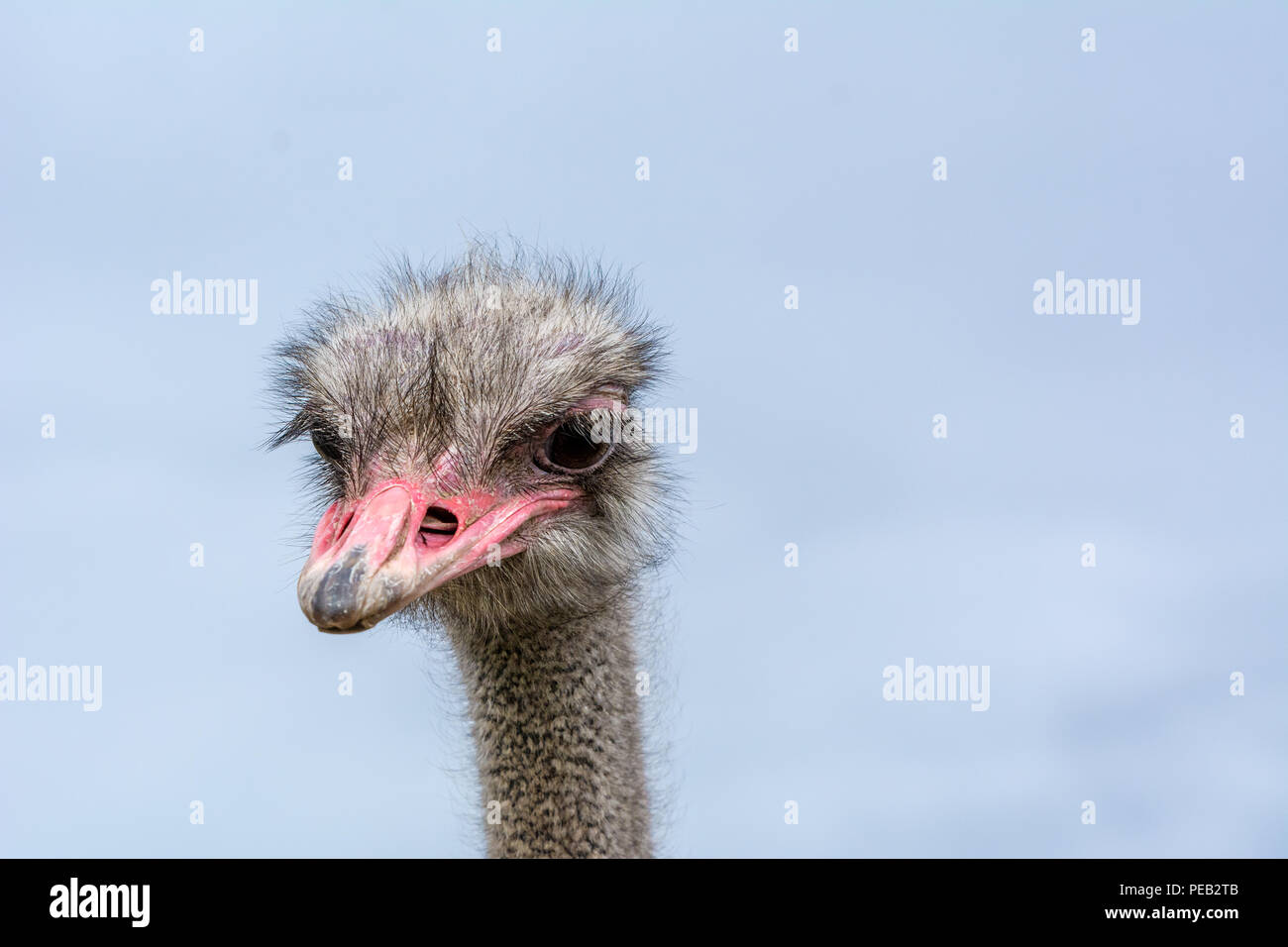 The head of an ostrich closeup on a blue background. - Stock Image
