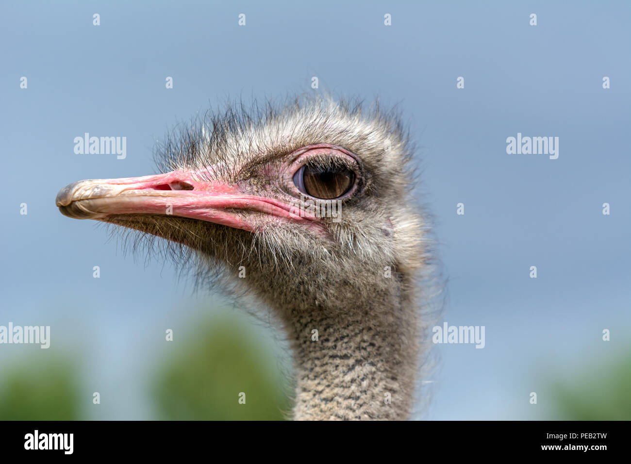 The head of an ostrich closeup on a blue background. Stock Photo