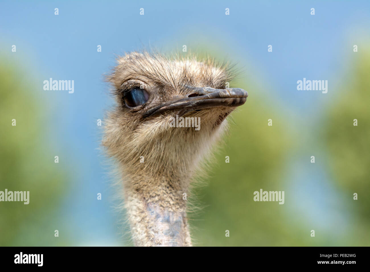 The head of an ostrich closeup on a blurred background. Stock Photo