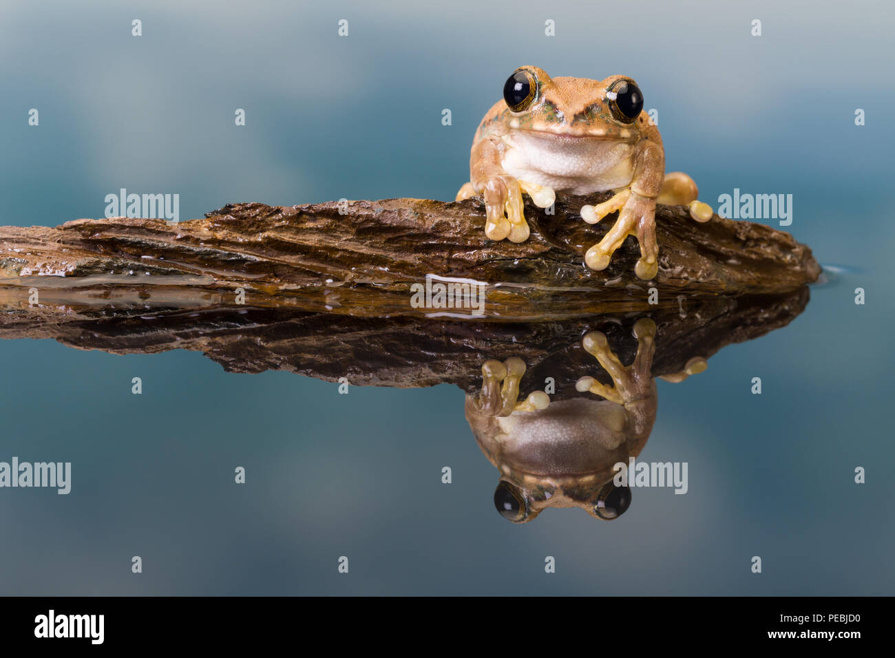The Mission golden-eyed tree frog or Amazon milk frog (Trachycephalus resinifictrix) is a large tree frog of the Amazon Rainforest - Stock Image