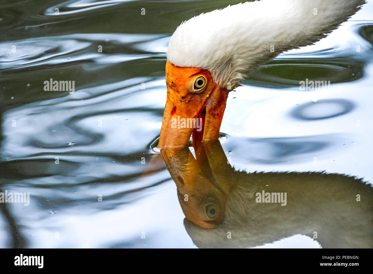 Milky stork with his long orange beak in the water, and his reflection - Stock Image
