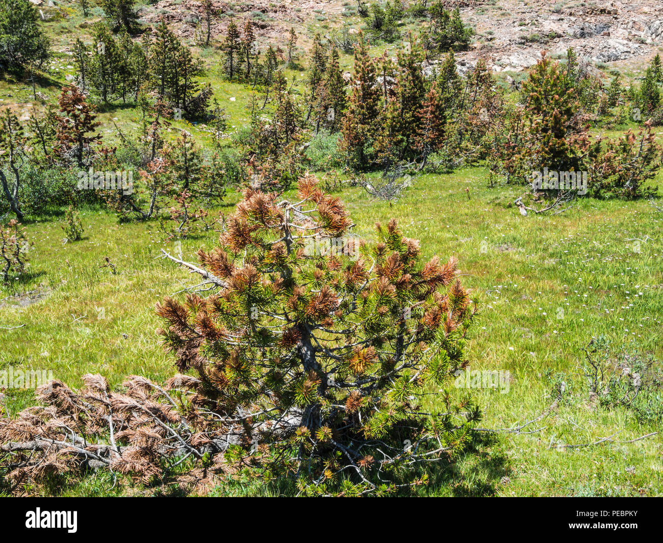 pine trees dying from bark beetle infestation - Stock Image