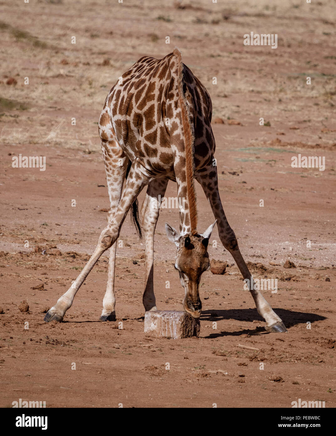 Giraffe bends over to lick the salt off a rock in Namibia - Stock Image