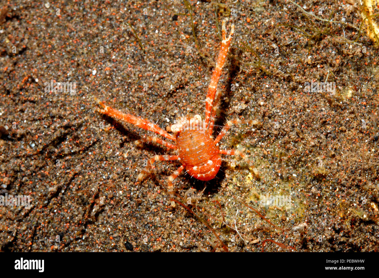 Squat Lobster, Galathea sp. Tulamben, Bali, Indonesia. Bali Sea, Indian Ocean - Stock Image