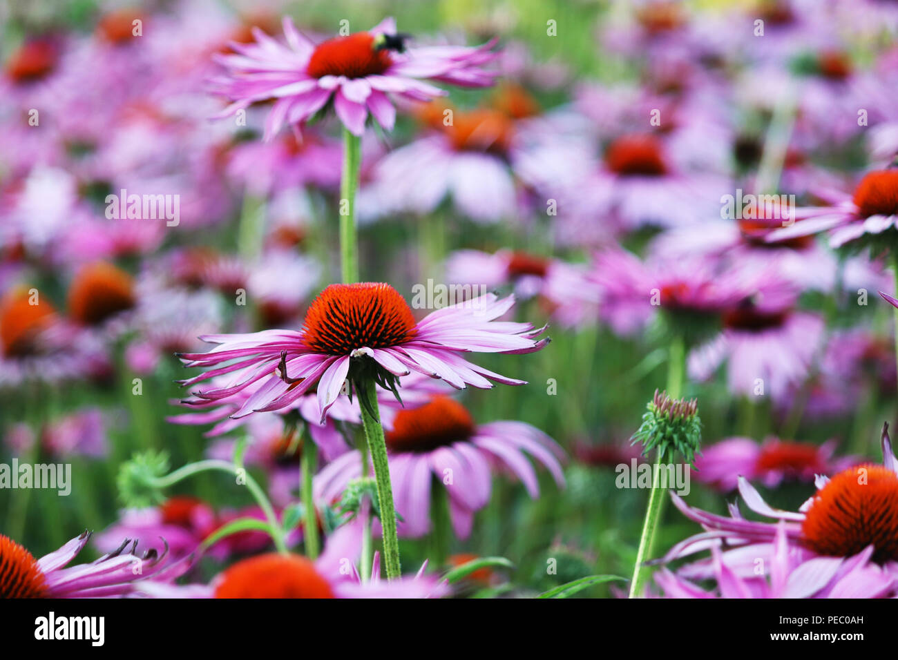 Purple Flowers in Summer - Stock Image