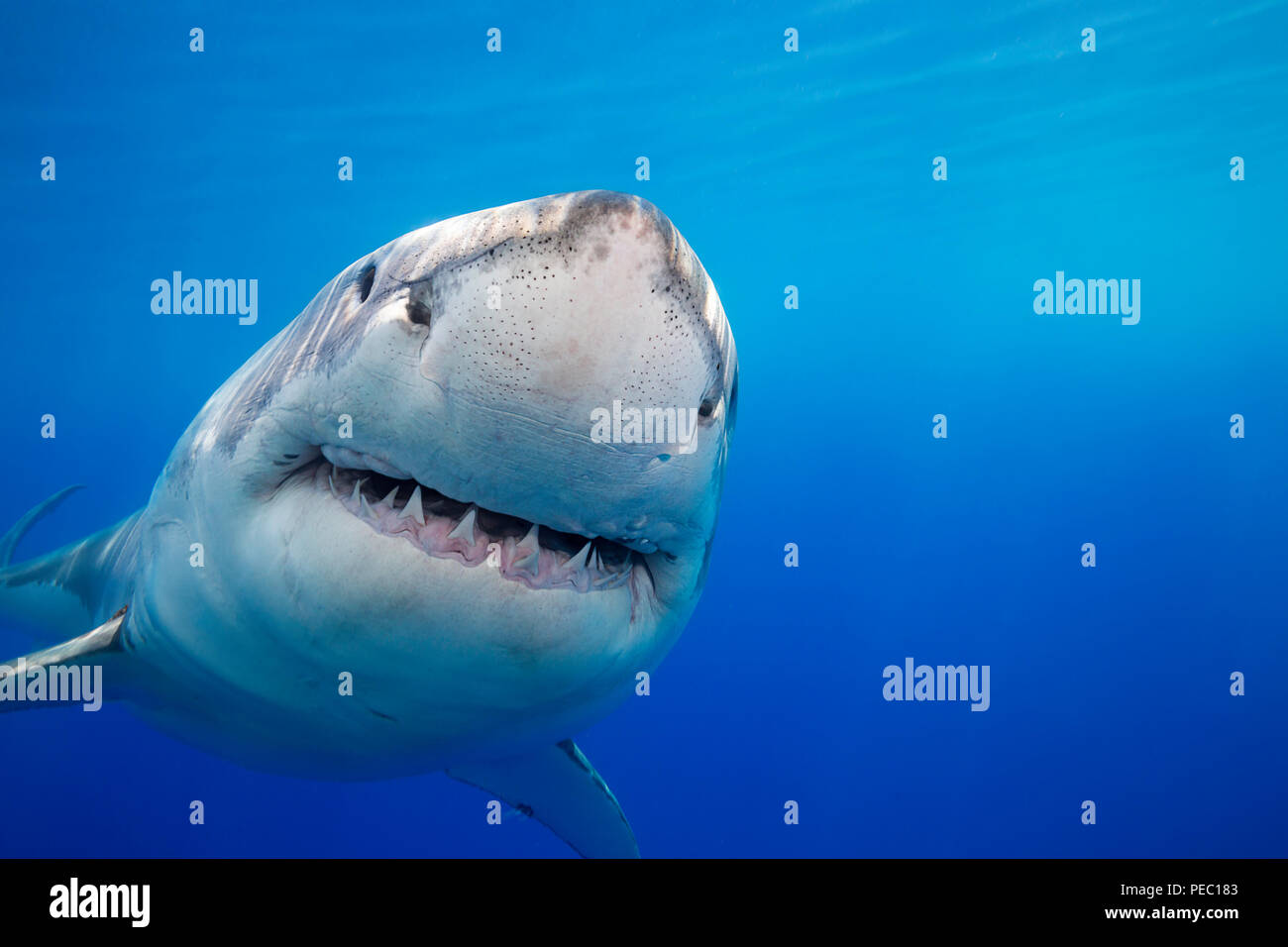 This great white shark, Carcharodon carcharias, was photographed off Guadalupe Island, Mexico. - Stock Image