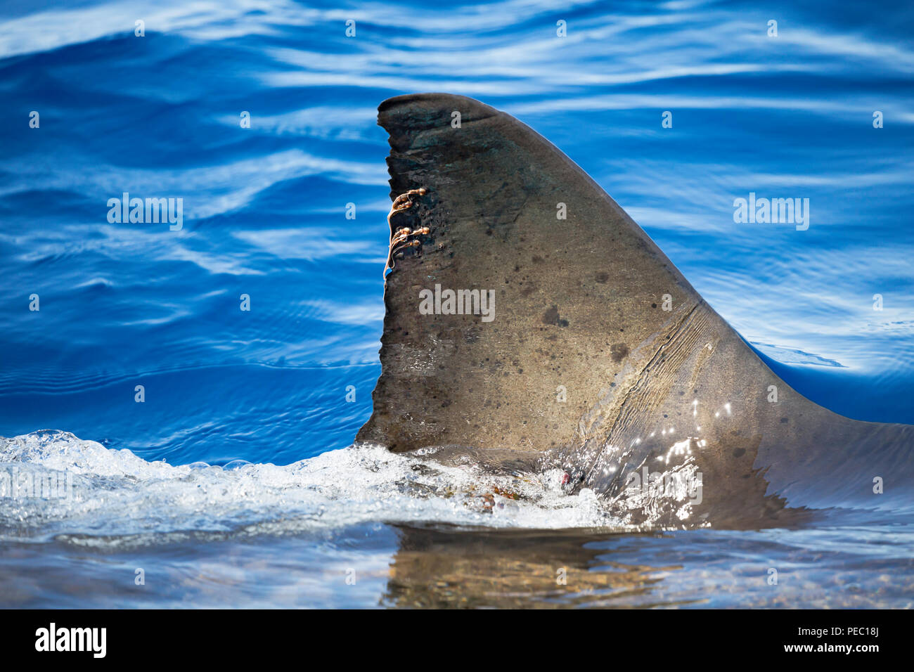 The strings hanging off the dorsal fin of this great white shark, Carcharodon carcharias, are parasitic copepods.  Photographed just breaking the surf - Stock Image