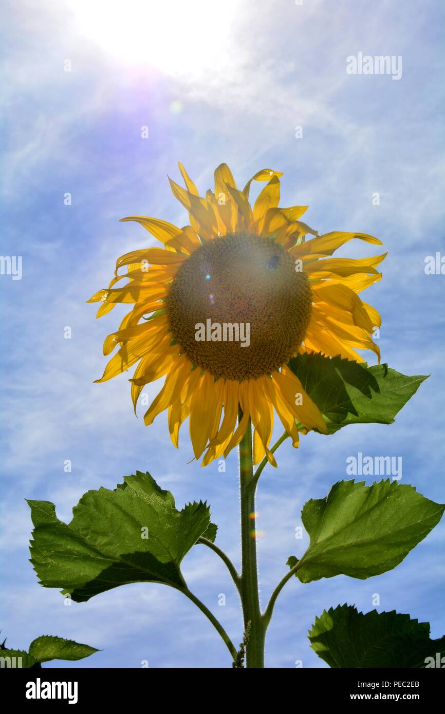 Big sunflower with the beaming sun on the field - Stock Image