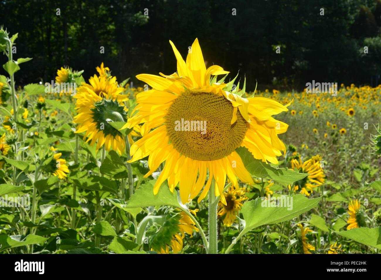 Big sunflowers  on the sunflowerfield in green nature - Stock Image