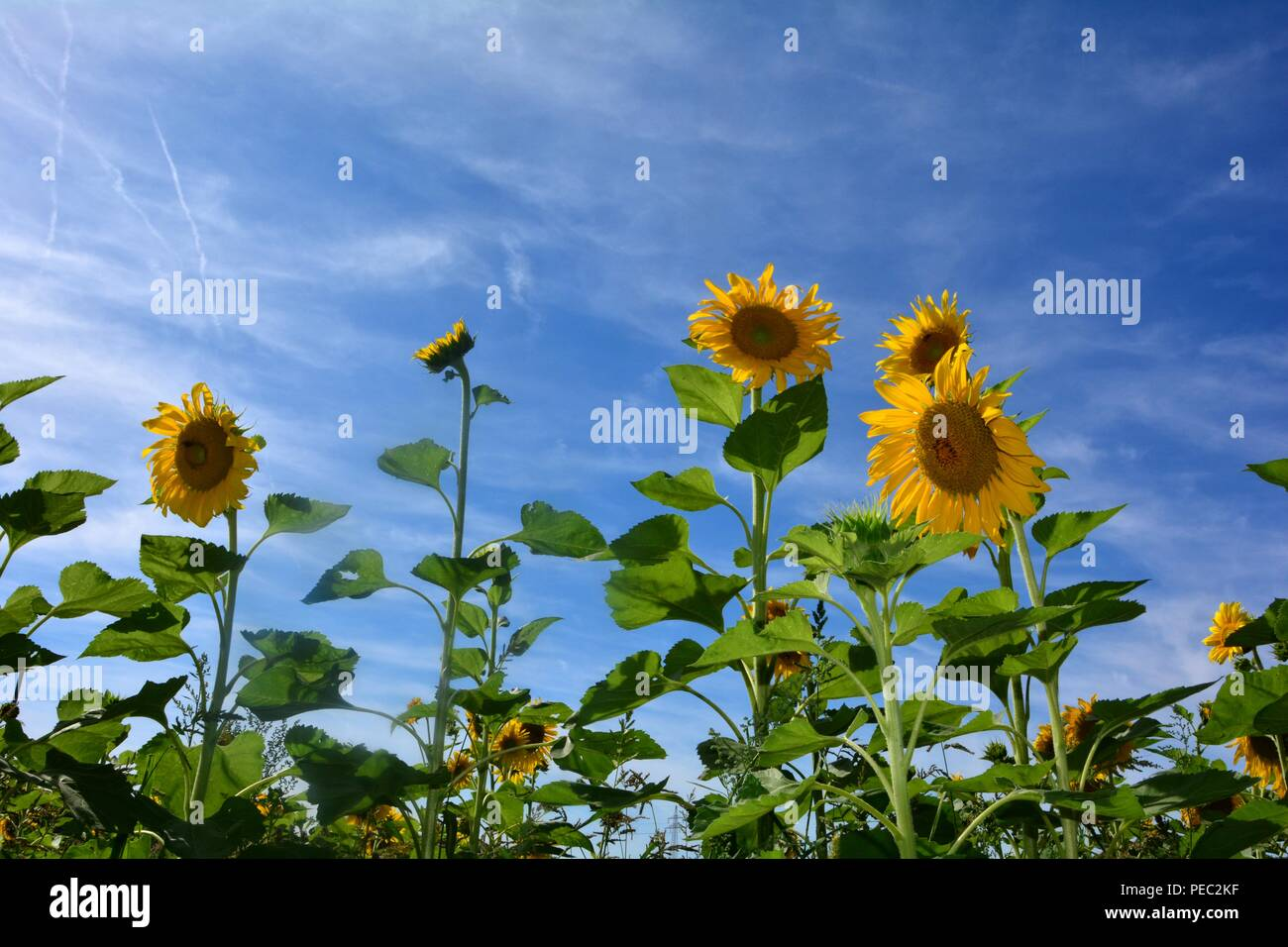 Big sunflower  on the field - Stock Image