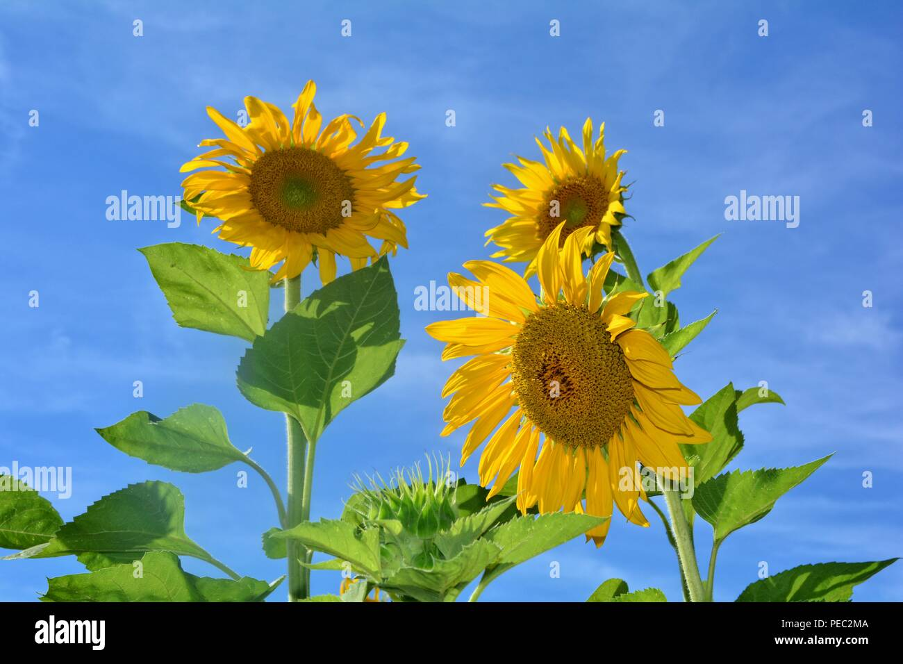 Big sunflowers with blue sky - Stock Image