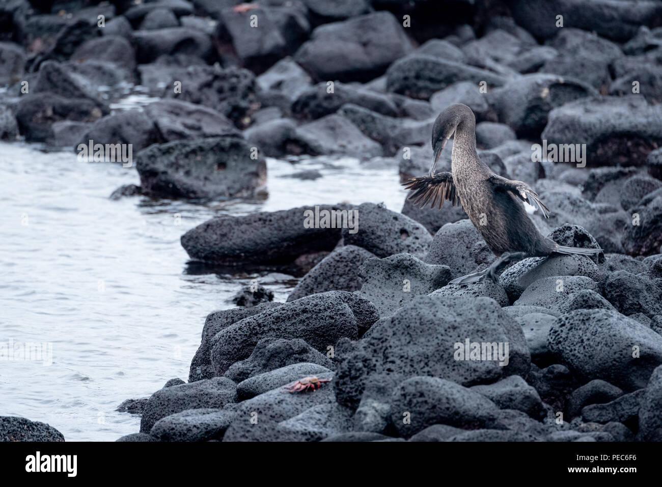 Flightless Cormorant, Galápagos - Stock Image