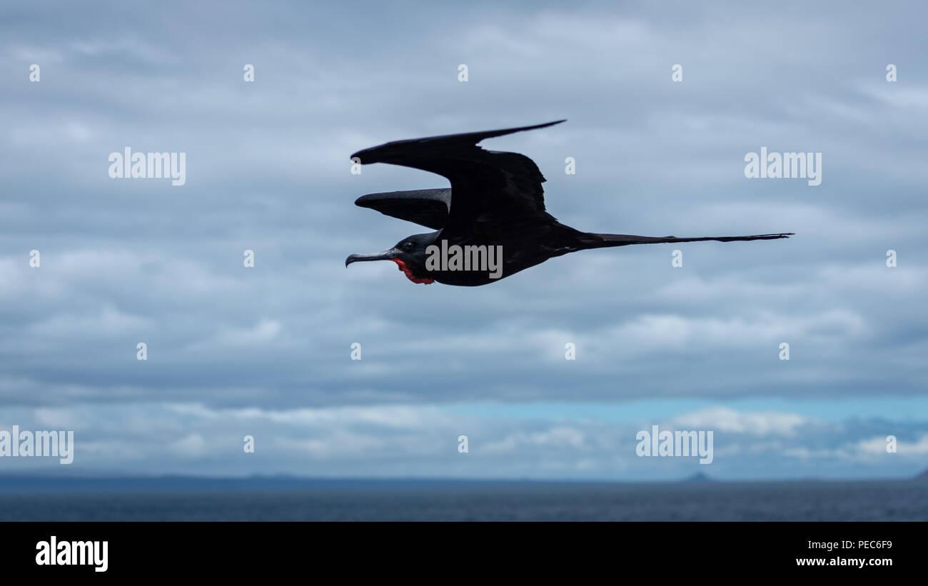 Magnificent Frigate Birds in flight - Stock Image