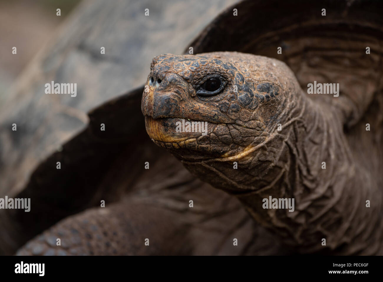 Giant Tortoise, Galápagos - Stock Image