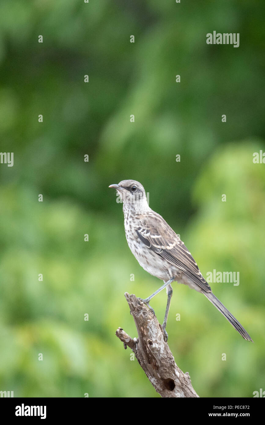 Galápagos Mockingbird - Stock Image