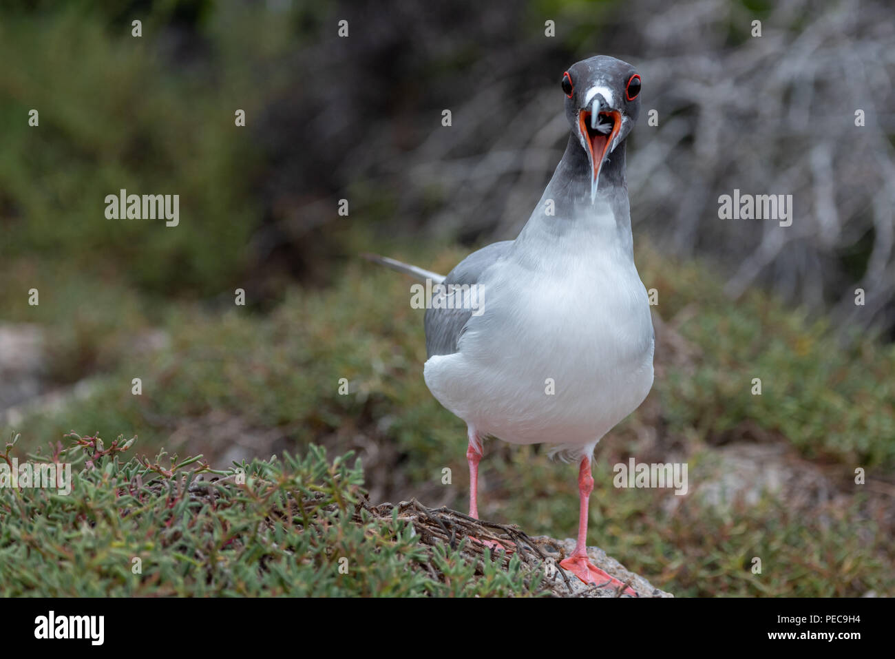 Swallow-tailed Gull, Galápagos - Stock Image