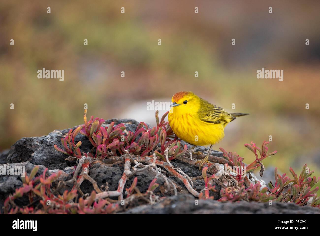 Yellow Warbler, Galápagos - Stock Image