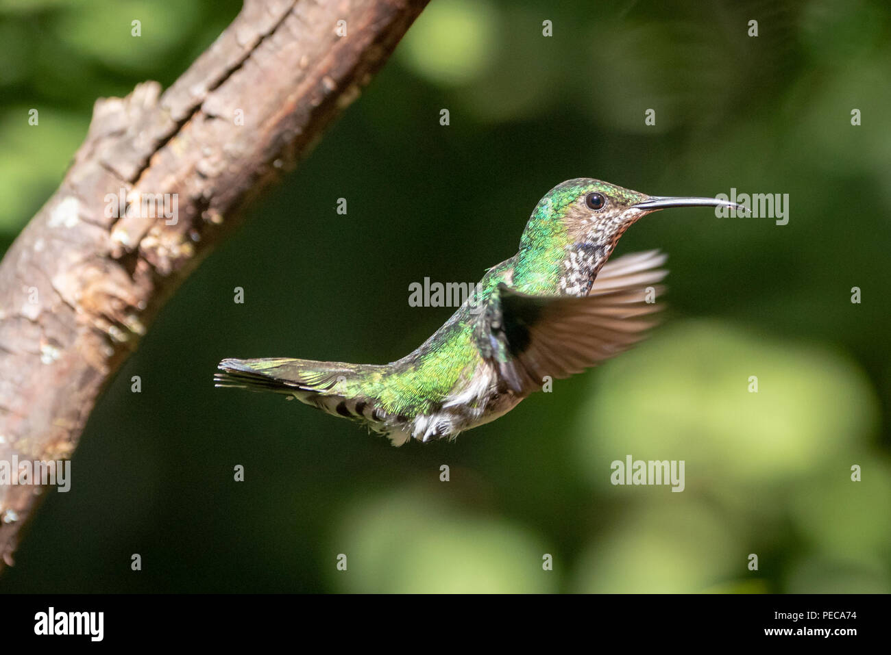 Hummingbird in flight, Mindo Cloud Forest, Ecuador - Stock Image
