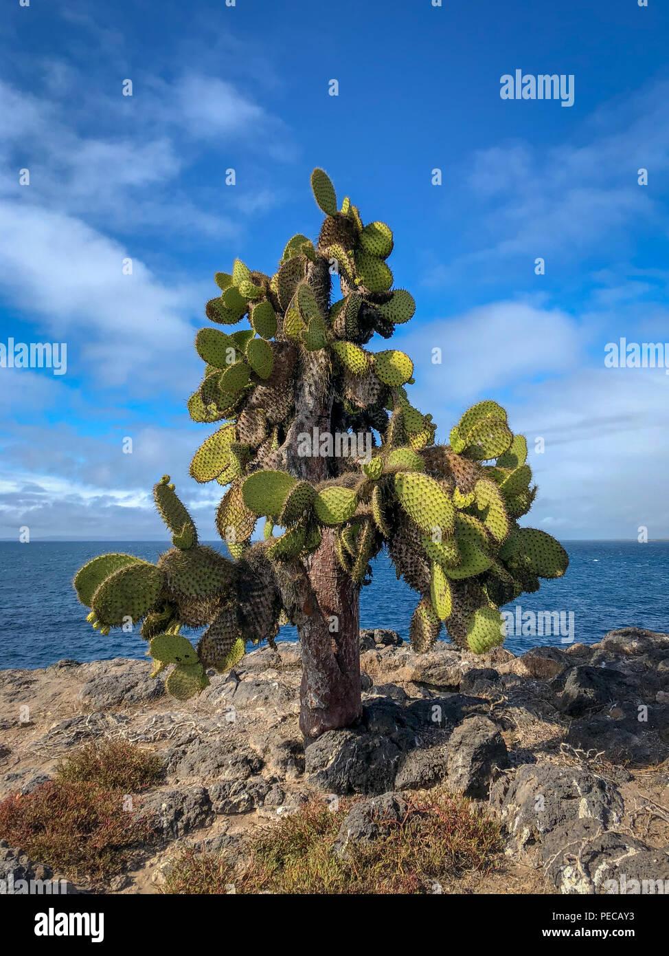 Cacti of Galápagos - Stock Image