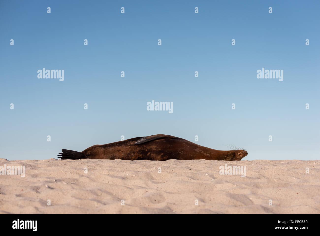 Sleeping Sea Lion, Galápagos - Stock Image