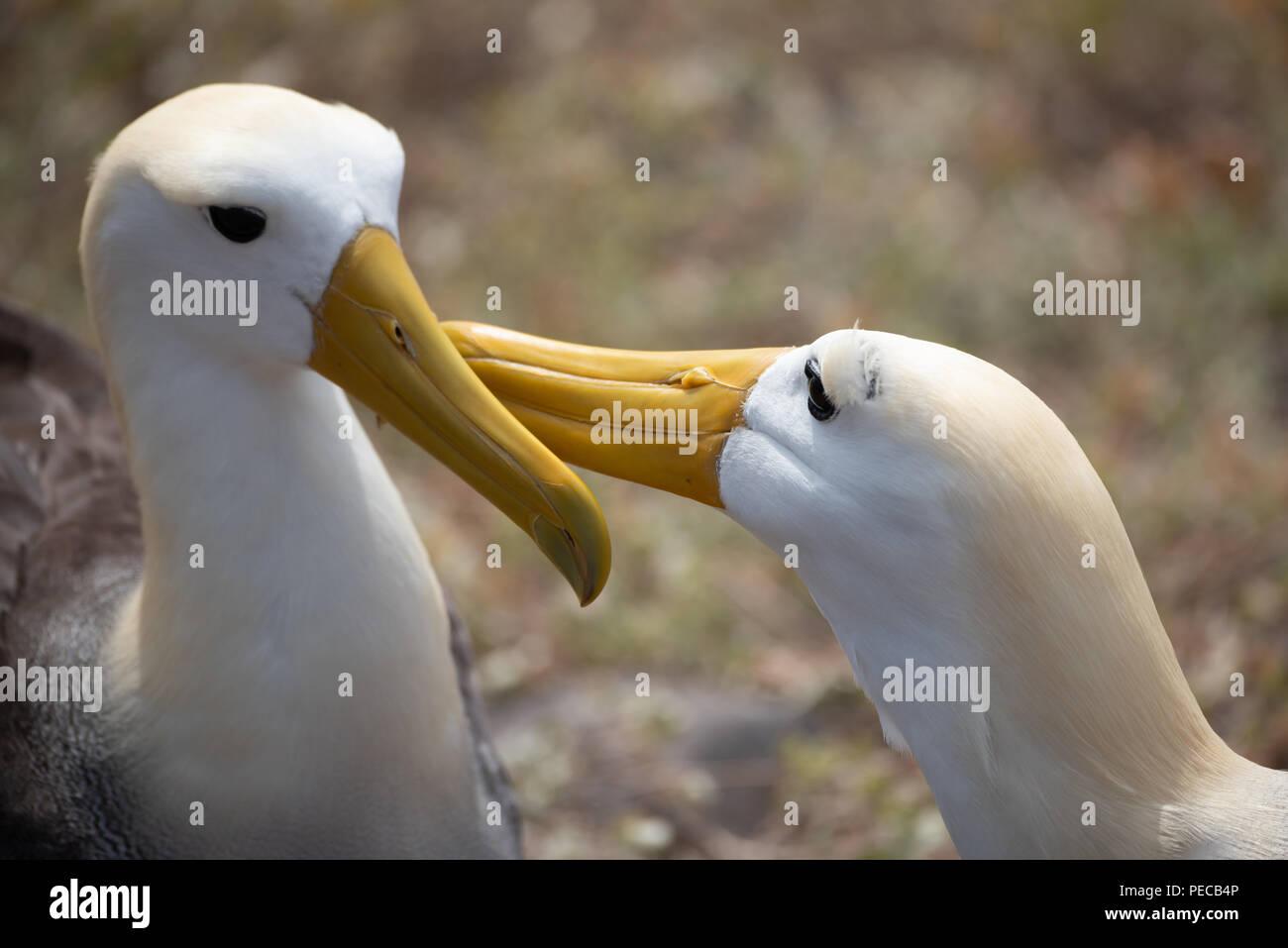 Waved Albatross Courtship - Stock Image
