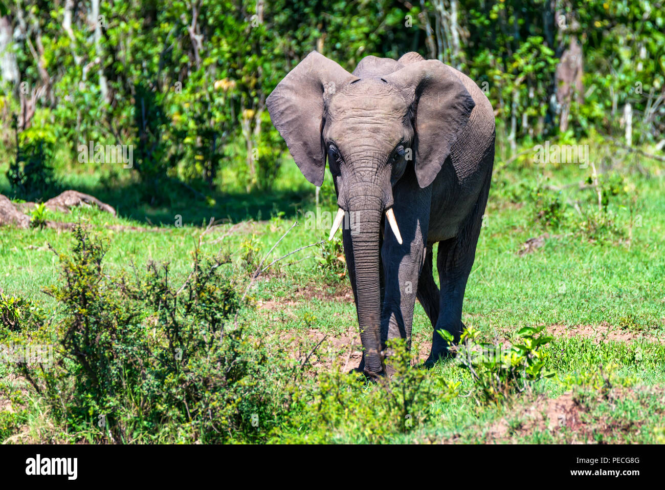 African elephant or Loxodonta cyclotis in nature - Stock Image