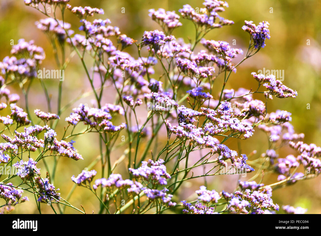 Limonium flower in bloom in garden close - Stock Image
