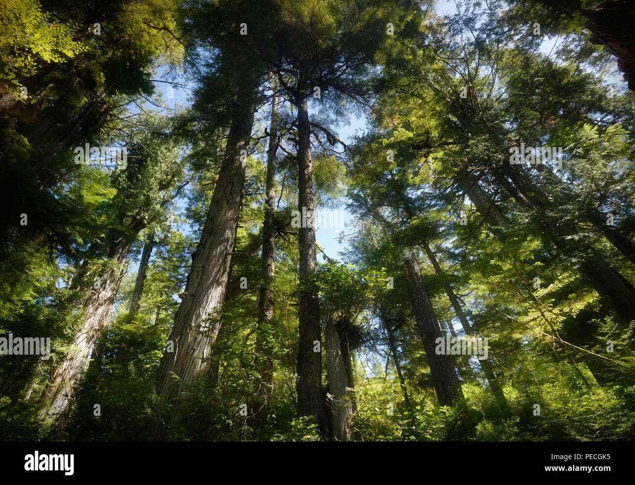 Beautiful tall Rainforest Douglas Fir trees covering the sky at the Pacific Rim National Park Reserve in Tofino, Vancouver Island, BC, Canada. - Stock Image