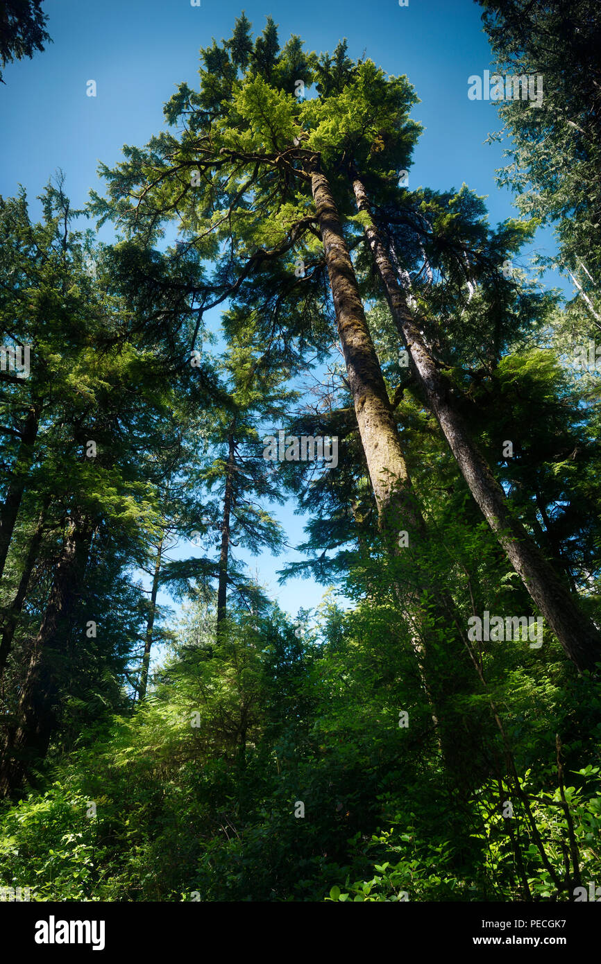 Beautiful Tall Douglas Fir trees at the Rainforest of Pacific Rim National Park, Tofino, Vancouver Island, BC, Canada. - Stock Image