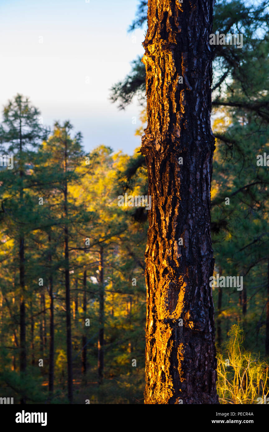 Pine forest at dawn - Canary Island pine, Pinus canariensis on the slopes of the volcanic Mount Teide, or Pico del Teide, Tenerife, Canary Islands - a Stock Photo