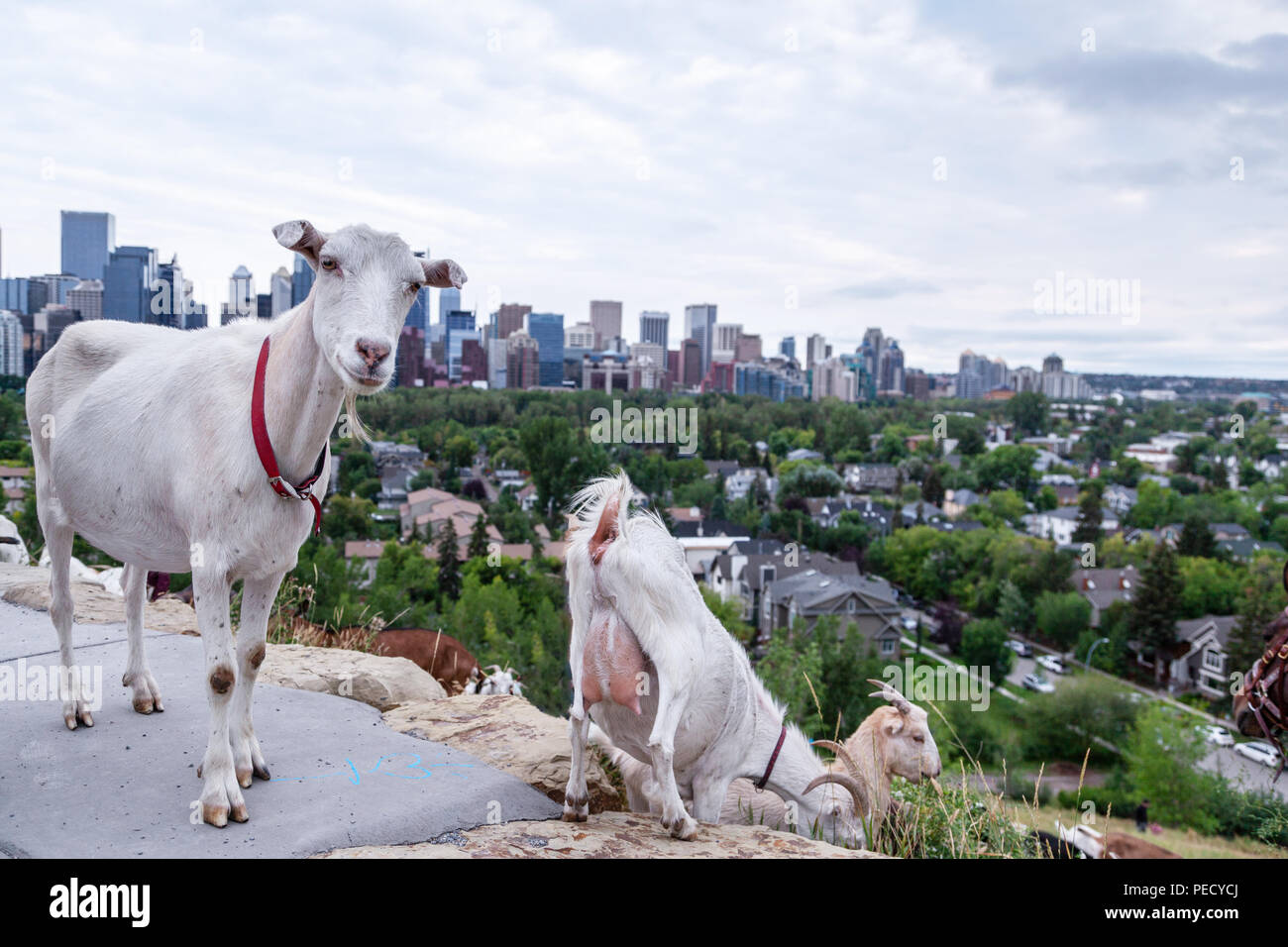 Goats eating up weeds in a Calgary park as part of the city's targeted grazing plan for invasive weed species management using environmentally friendl Stock Photo