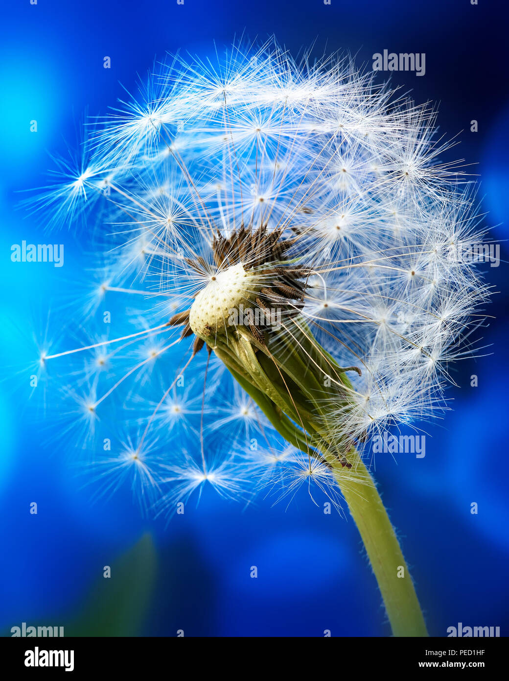Macro Of A Dandelion On The Blue Abstract Background
