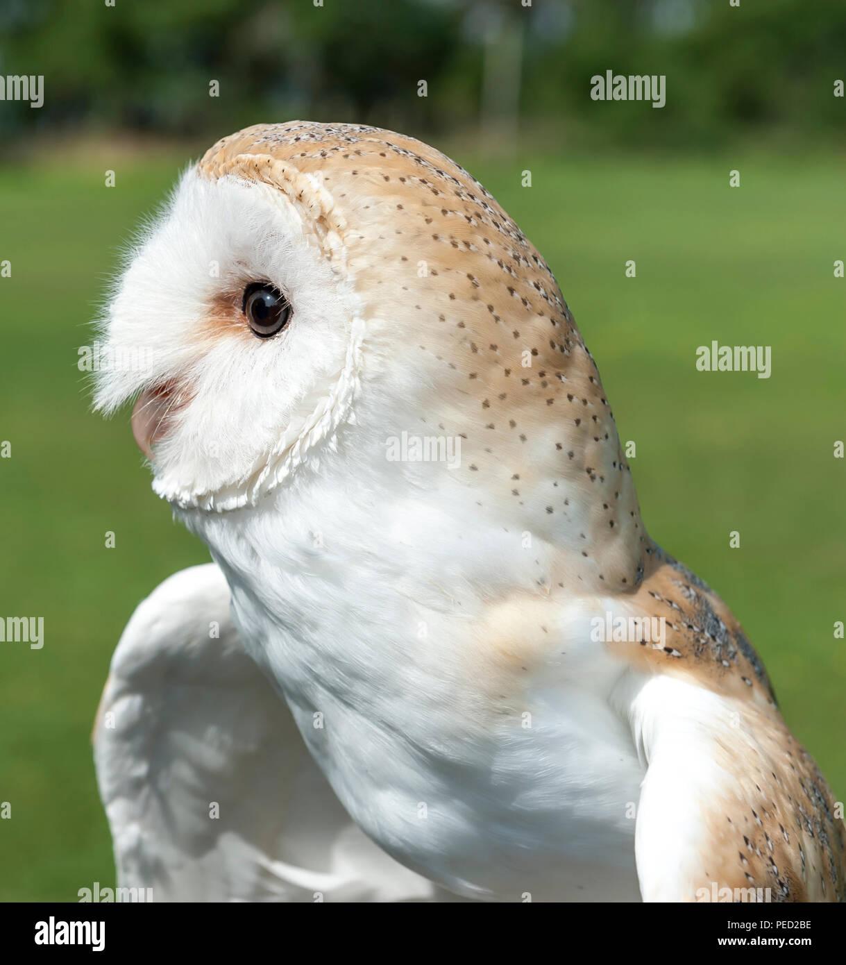 Captive Barn Owl, Hexham, Northumberland, UK - Stock Image