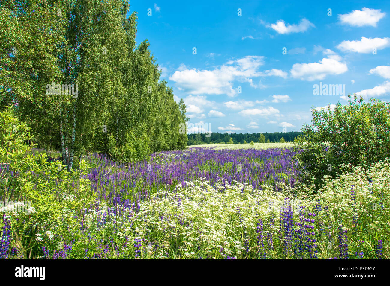 A large field with flowering lupine on a sunny summer day, Russia. Stock Photo