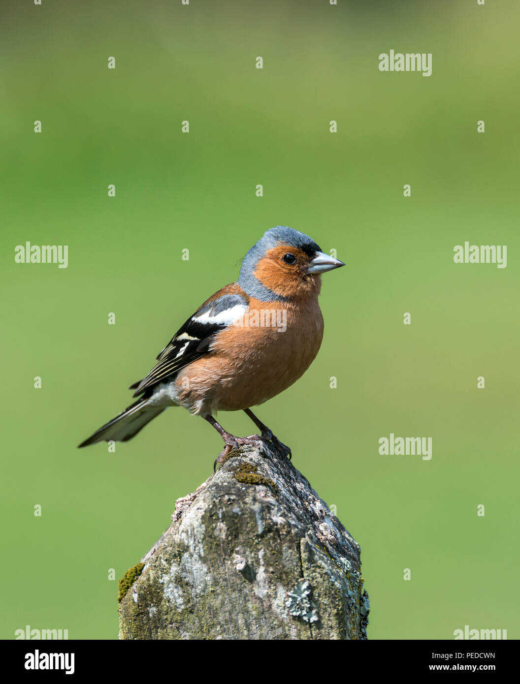 Chaffinch, Hexham, Northumberland, UK - Stock Image