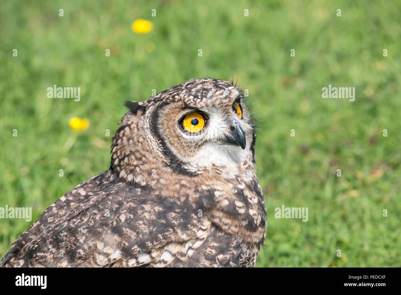 Captive Spotted Eagle Owl, Hexham, Northumberland, UK - Stock Image
