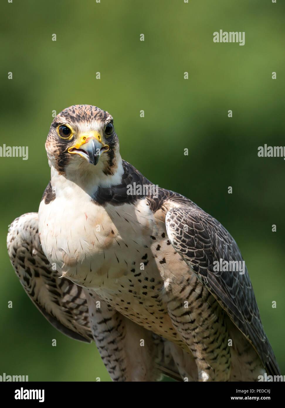Hybrid Falcon, Hesham, Northumberland, UK - Stock Image