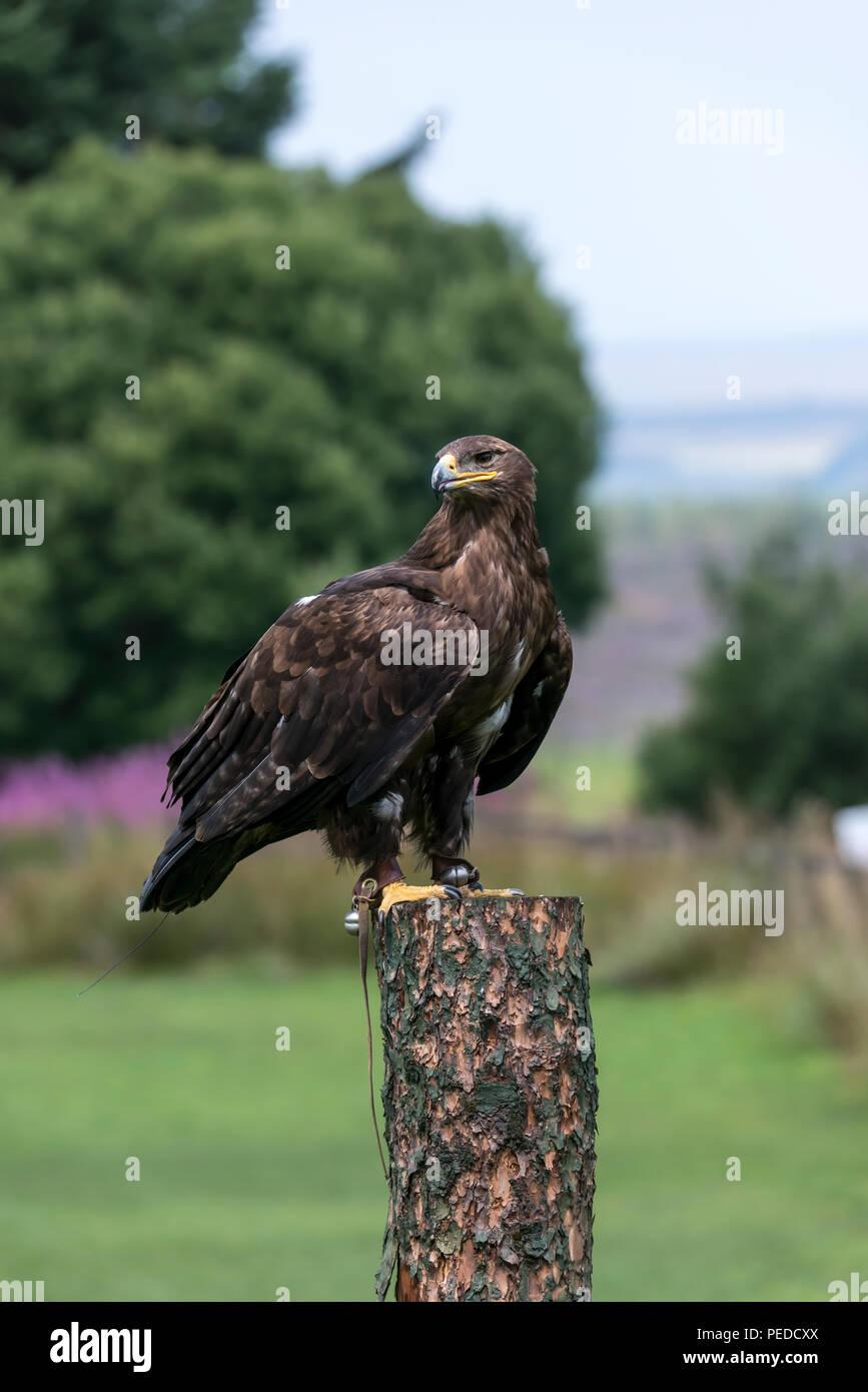 Captive Steppe Eagle, Hexham, Northumberland, UK - Stock Image