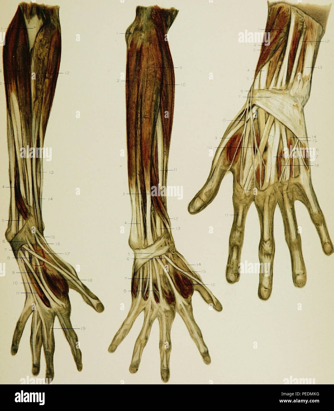 Color print illustrating the anatomy of the human arm and hand, focusing on the superficial musculature, 1891. Courtesy Internet Archive. () - Stock Image
