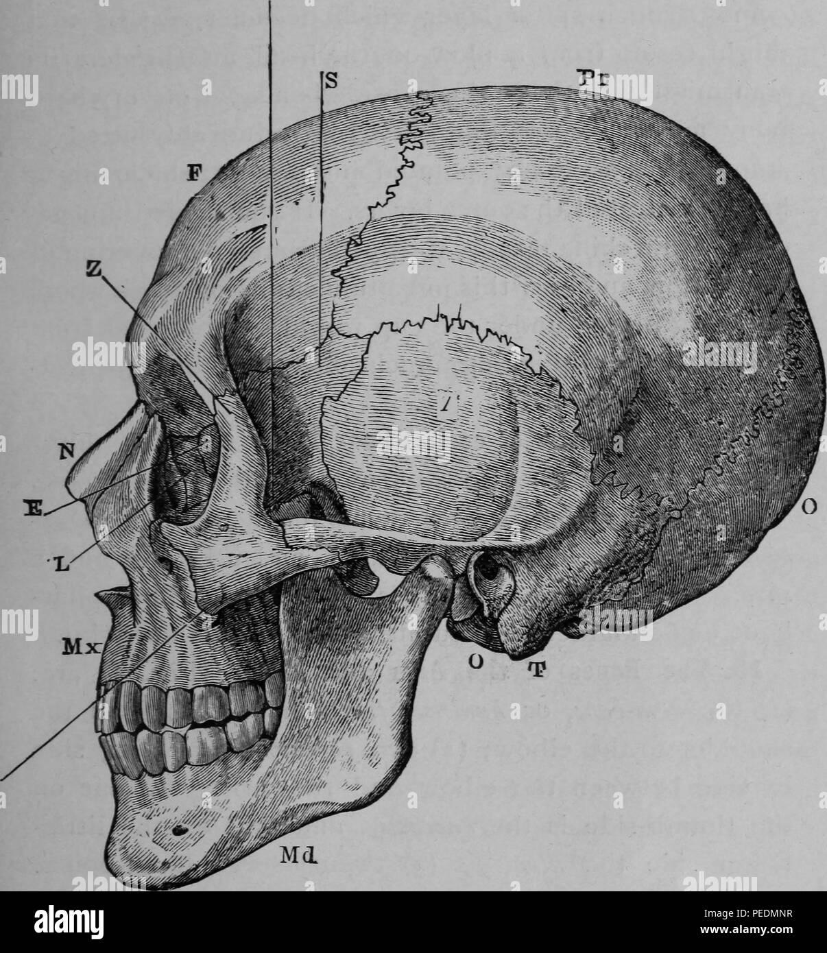 Occipital Bone Stock Photos & Occipital Bone Stock Images - Alamy