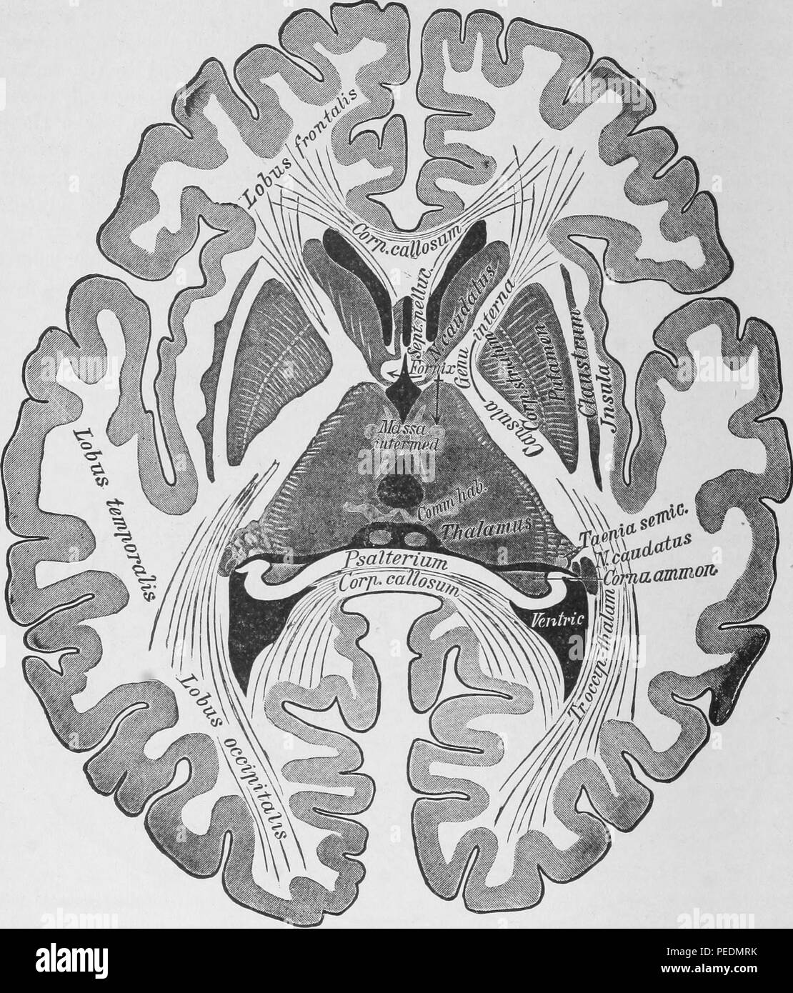 Black and white print depicting a horizontal section through the brain, to illustrate the Nucleus Caudatus, Thalamus Opticus, and Nucleus Lentiformis, 1910. Courtesy Internet Archive. () - Stock Image