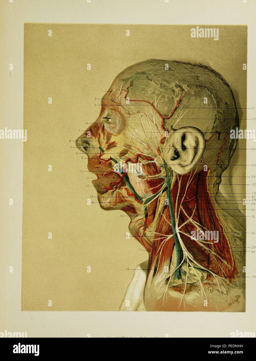 Facial Nerve Stock Photos Facial Nerve Stock Images Alamy