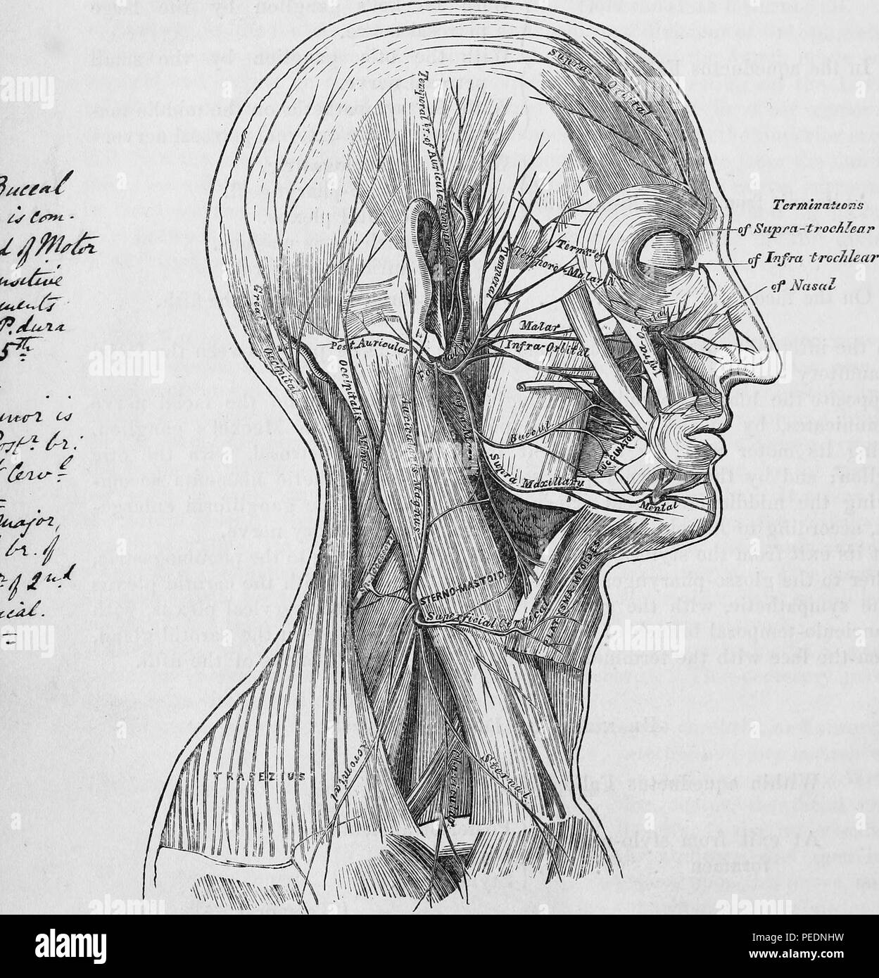 Black and white print illustrating a section of a human head with labels identifying the nerves of the scalp, face, and side of the neck, from Henry Gray's 'Anatomy, Descriptive and Surgical', 1860. Courtesy Internet Archive. () - Stock Image