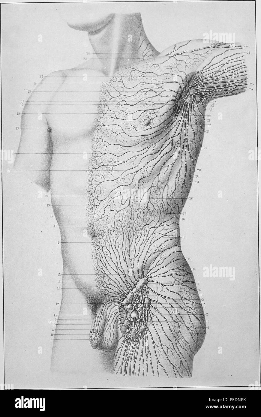 Black and white print of a male human torso showing the superficial lymphatic system on one side of the trunk of the body, published in Joseph D Bryant's 'American practice of surgery, a complete system of the science and art of surgery', 1906. Courtesy Internet Archive. () Stock Photo