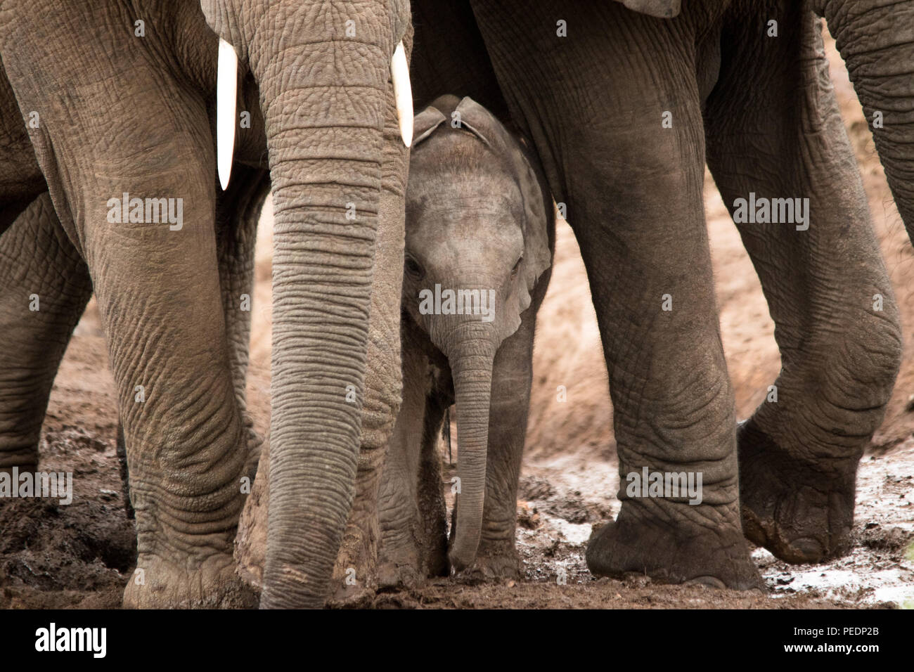 A baby elephant peeks out from under his mother's legs. Stock Photo